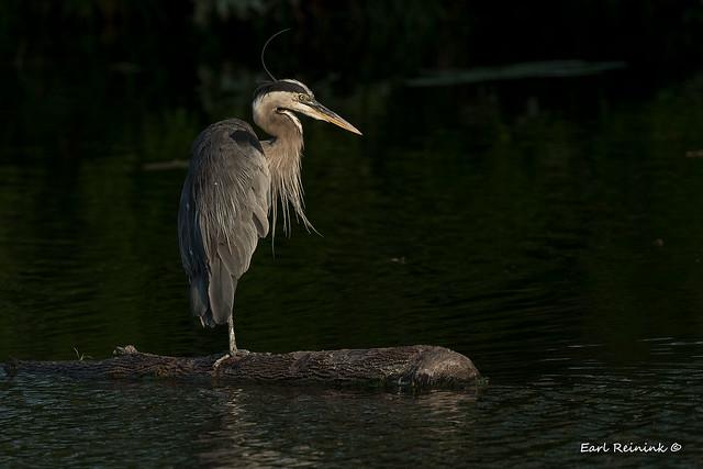 Heron - early morning light