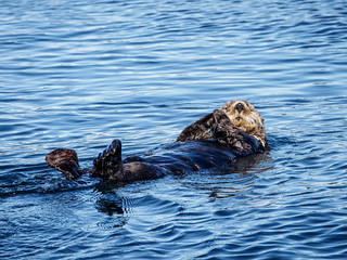 Sea Otter Floating Away | by itsmarykate