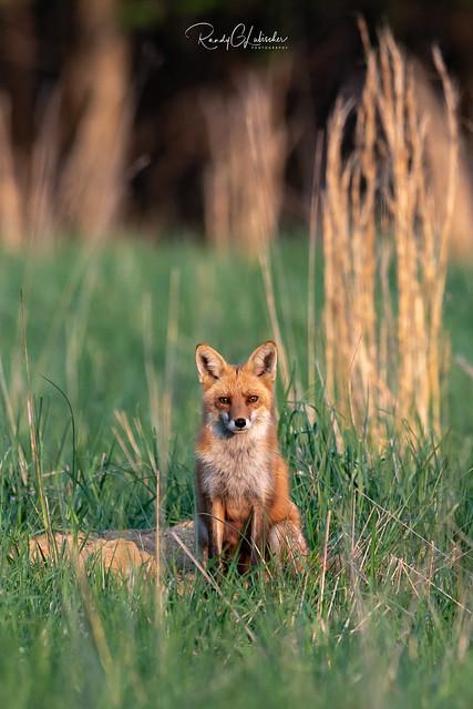 Red Fox - Vulpes vulpes   2018 - 26