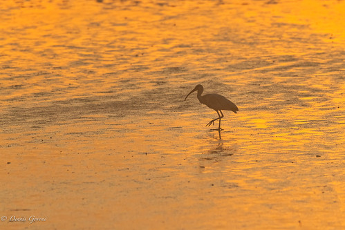 action background bird hiltonhead ibis pinckney southcarolina summer sunrise water wildlife hiltonheadisland unitedstates us