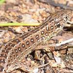 Zauneidechse (Sand Lizard, Lacerta agilis), Weibchen