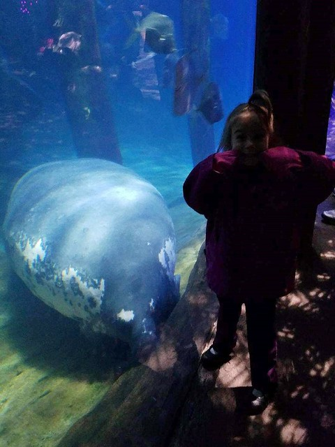 Manatee at the Columbus Zoo and Aquarium