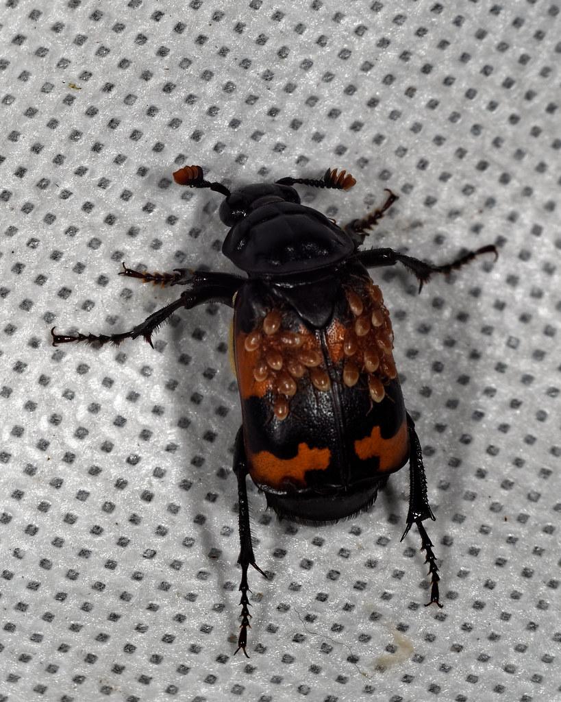 Black and Orange Banded Sexton burying beetle - Nicrophorus investigator with mites