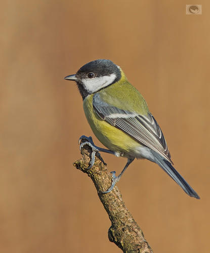 JWV_ Great tit | by Weja 68
