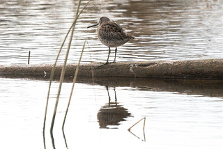 Dowitcher (1 of 1) | by debra249