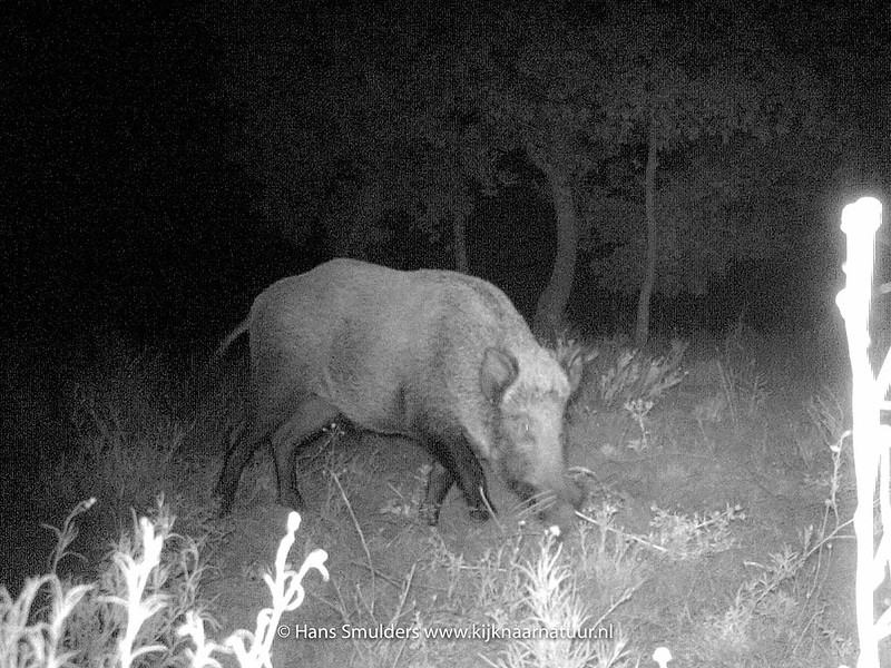 Wild zwijn (Sus scrofa)-IMAG0043
