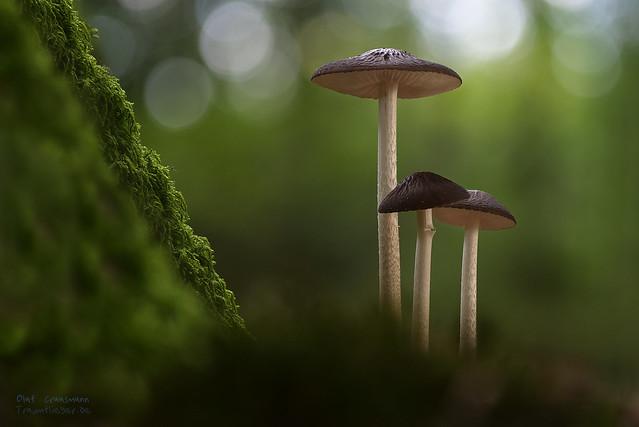 deep root mushroom