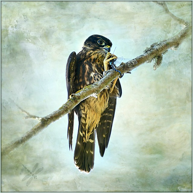 merlin (Falco columbarius) . . . dragonfly dinner