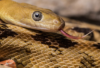 Trans-Pecos Rat Snake | by Frank Portillo