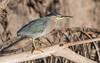 Striated Heron (aka Mangrove Heron) by tickspics 