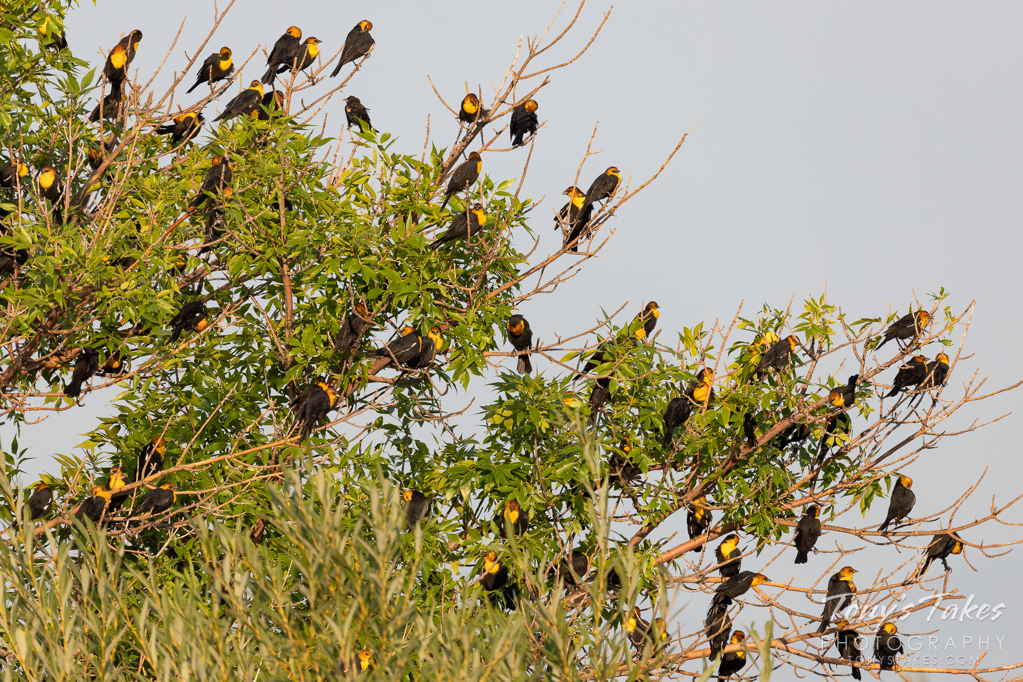 A mass of Yellow-headed Blackbirds in Longmont, Colorado. (© Tony's Takes)