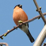 Gimpel (Bullfinch, Pyrrhula pyrrhula), Männchen