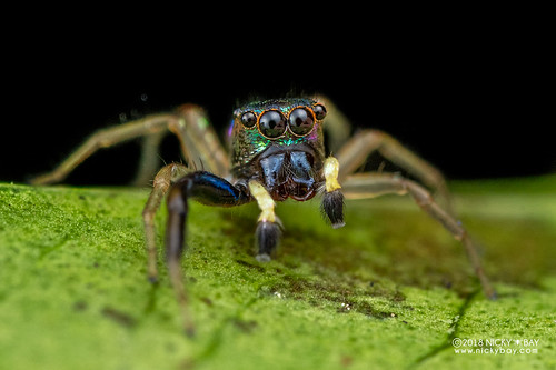 Jumping spider (Echinussa sp.) - DSC_1841 | by nickybay