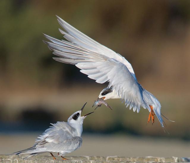 Forster's Tern feeding