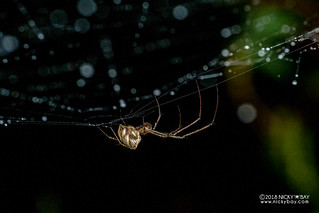 Big-jawed spider (cf. Tylorida sp.) - DSC_0624 | by nickybay
