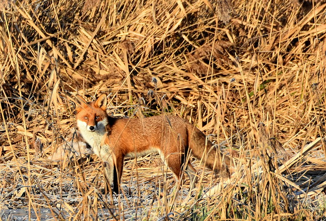 Fox in the reedbed.