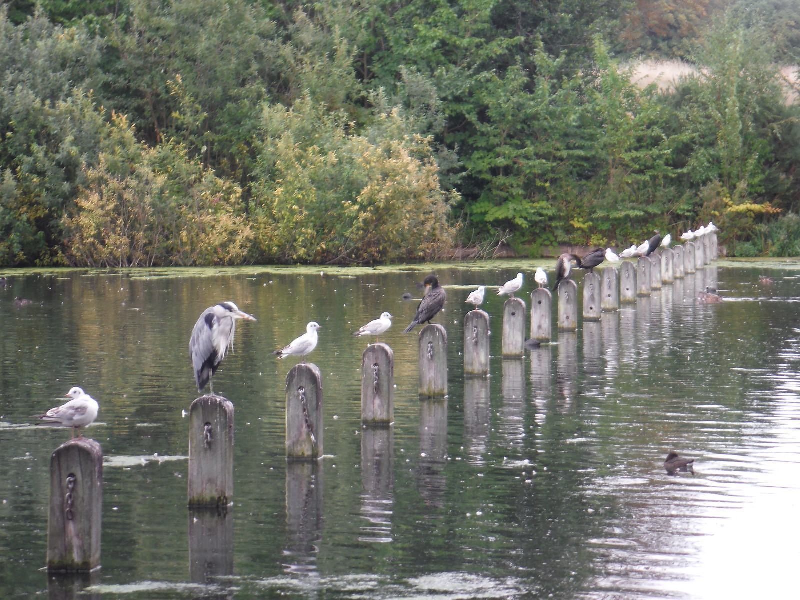Birds All Lined Up, The Long Water SWC Short Walk 19 - Royal Parks