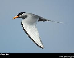 River Tern | by The World Through My Eye