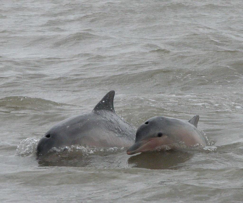 rivierdolfijnen