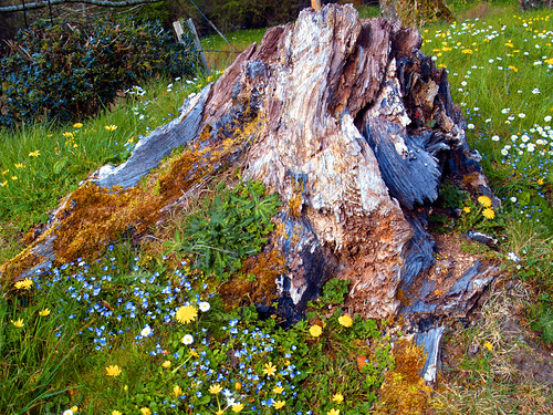 Rotted tree stump and wild flowers | by dingbat2005
