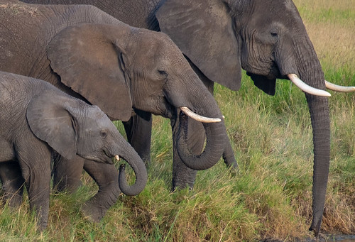 Family portrait. Elephants | by Laura Jacobsen