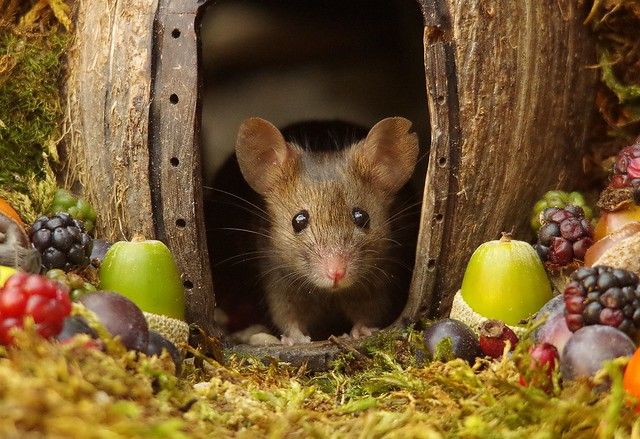 wild house mouse in log pile  with fruits and berry's (1)
