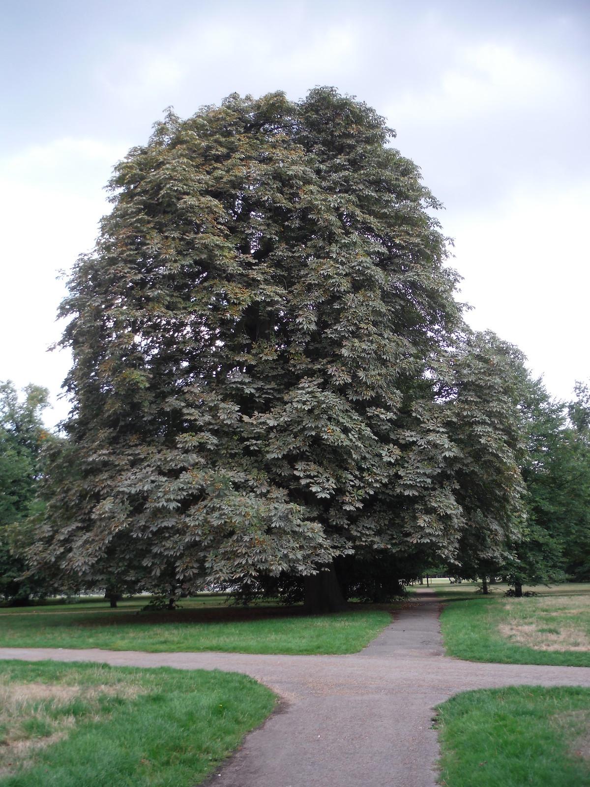 Big Tree, Kensington Gardens SWC Short Walk 19 - Royal Parks