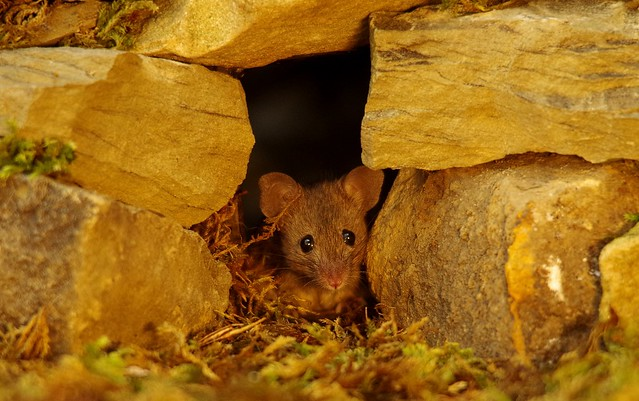 Wild garden house mouse in a stone wall (1)