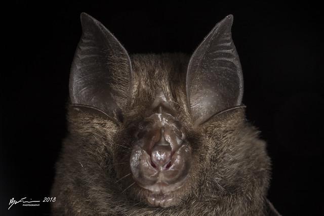 Eastern Horseshoe Bat