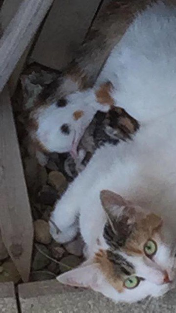 FOUND - white with orange/black spots cat with two kittens. No tag or collar visible. #PanoramaHills NE. Pls RT, share to help locate owners. YYC Pet Recovery shared Javida Merali's post. YYC Pet Recovery Found in my backyard. No tag or collar visible. 20