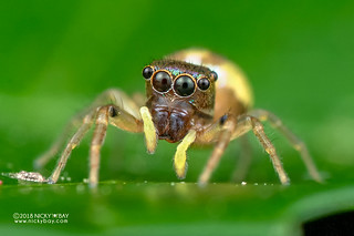 Jumping spider (Echinussa sp.) - DSC_1865 | by nickybay