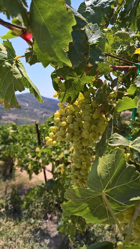 Boutaris vineyard, Crete