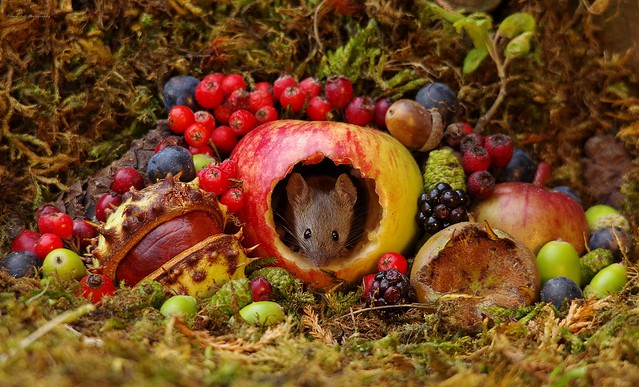 Autumn mouse with fruits and berries (10)