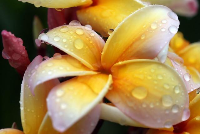 Tahitian Plumeria Beauty after rain