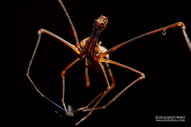 Assassin spider / Pelican spider (Eriauchenius sp.) - ESC_0007
