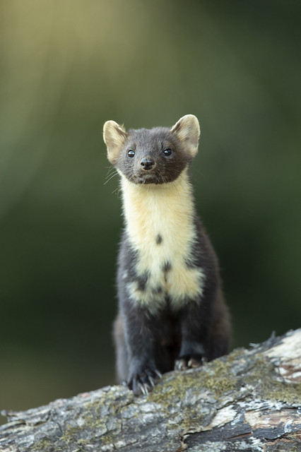 Scottish pine marten, Black Isle. Explored 27/08/18 #29