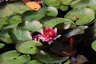 Another lily pad | by fyngyrz