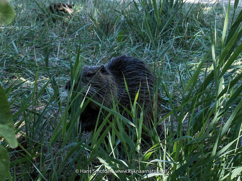 Beverrat (Myocastor coypus)-818_5954