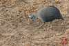 Helmeted Guineafowl by DragonSpeed