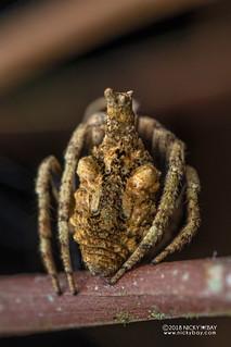 Tree-stump orb weaver (Poltys sp.) - DSC_2782 | by nickybay