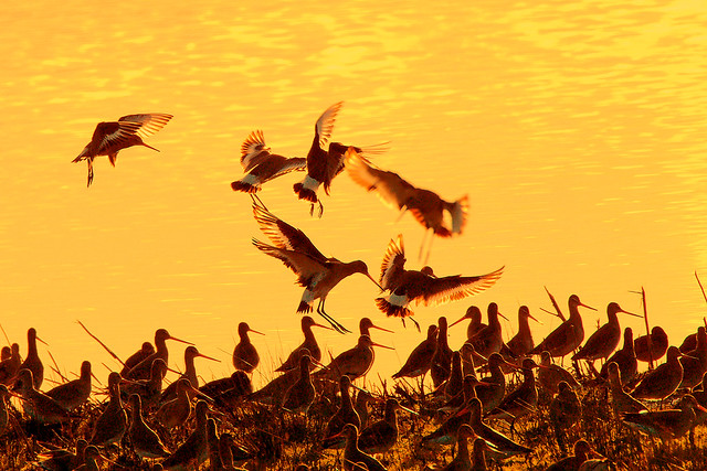 Godwits at dusk