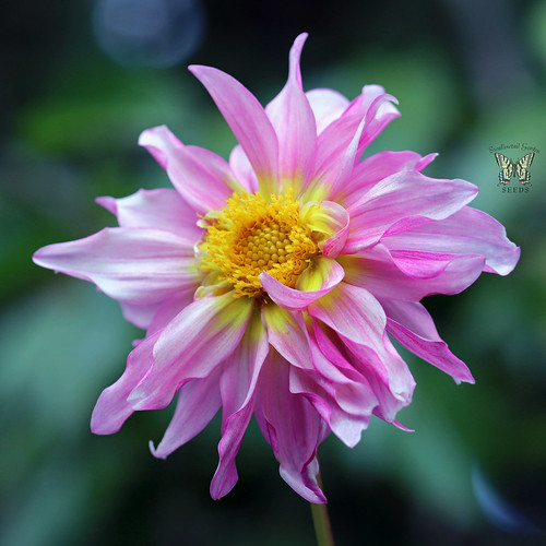 A beauty from our mix of cactus flowered hybrid dahlias | by Swallowtail Garden Seeds