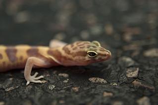 Western Banded Gecko (Coleonyx variegatus)   by Gavin Beck (SnakeBuddies)