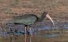Bare-faced Ibis by tickspics 