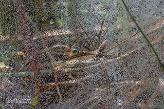 Nursery web spider (Euprosthenopsis sp.) - DSC_1008b | by nickybay