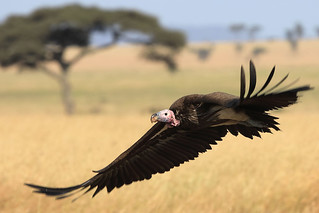 Lappet-faced vulture | by dmmaus