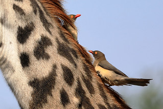 Red-billed oxpeckers | by dmmaus