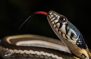 Black-Necked Garter Snake | by Frank Portillo