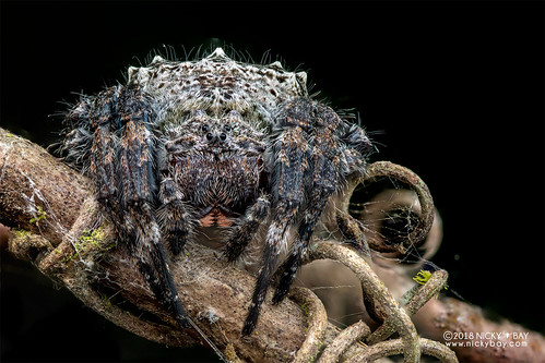 Broad-headed bark spider (Caerostris cf. darwini) - DSC_1314 | by nickybay
