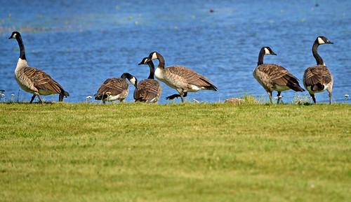 The Canada geese. Summer. Finland. Lake Päijänne. | by L.Lahtinen (nature photography)